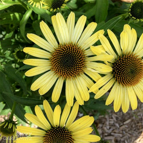 Butterfly 'Cleopatra' Coneflower is a sunny addition to summer bouquets.