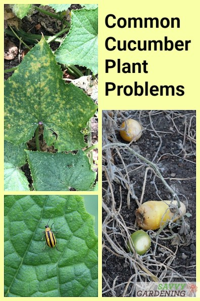 Not sure what's wrong with your cucumber plant? It might be one of these common issues.