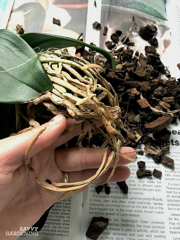 Healthy orchid roots are essential for good blooms