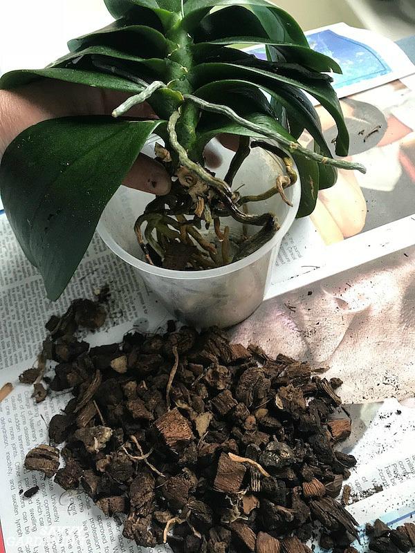 Steps for transplanting a epiphyte