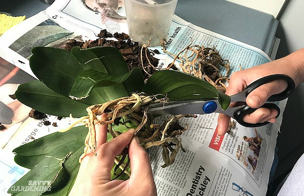 Root pruning a Phalaenopsis orchid is one important step in repotting the plant.