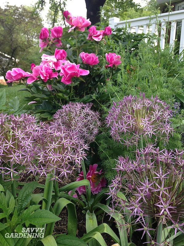 Spring-blooming alliums are deer resistant.