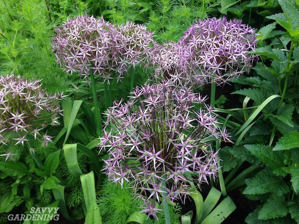 Allium christophii is a spring blooming bulb.