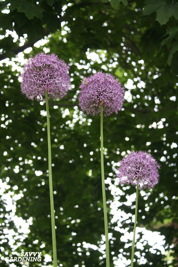 Globemaster alliums in full bloom.