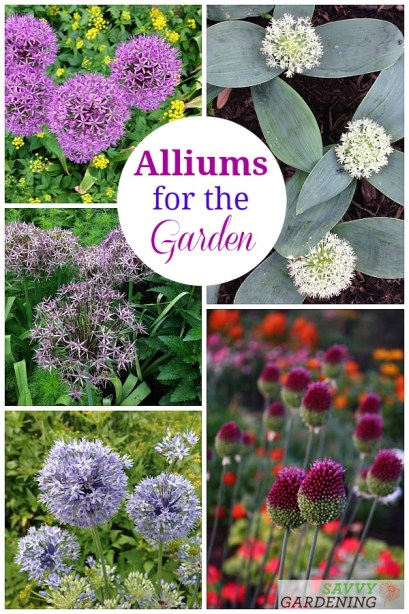 The best long-blooming allium varieties for the garden.
