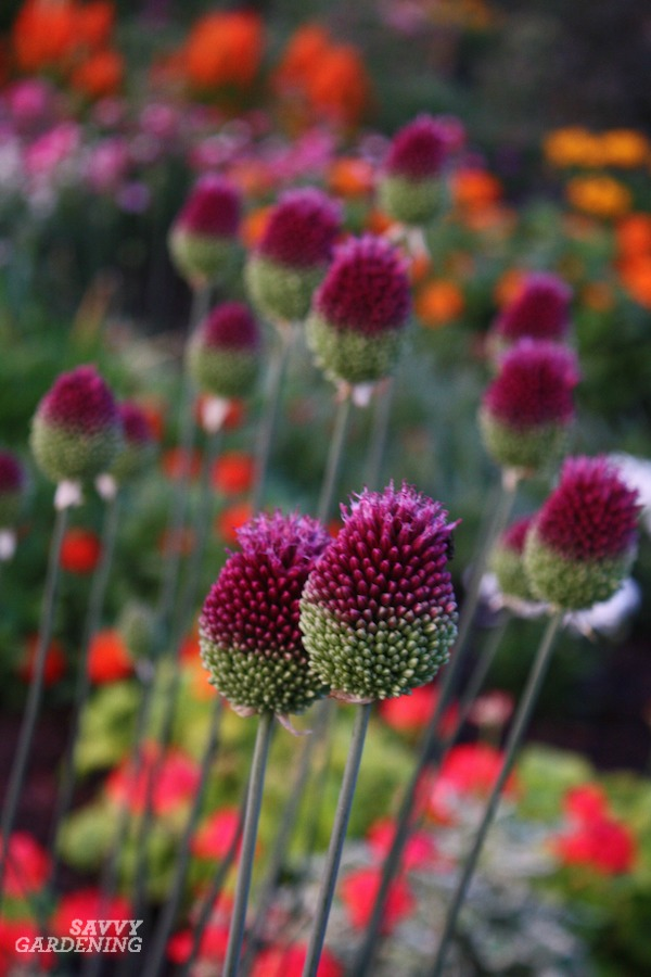 Drumstick alliums wobble and wave above other plants.