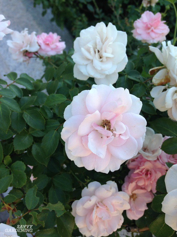 Growing healthy roses