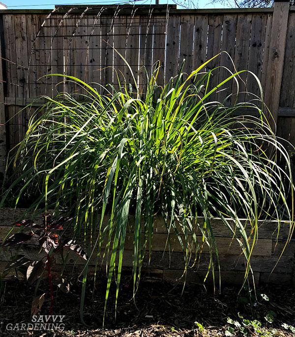 lemongrass in a raised bed