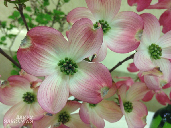 American dogwoods produce white or pink flowers.