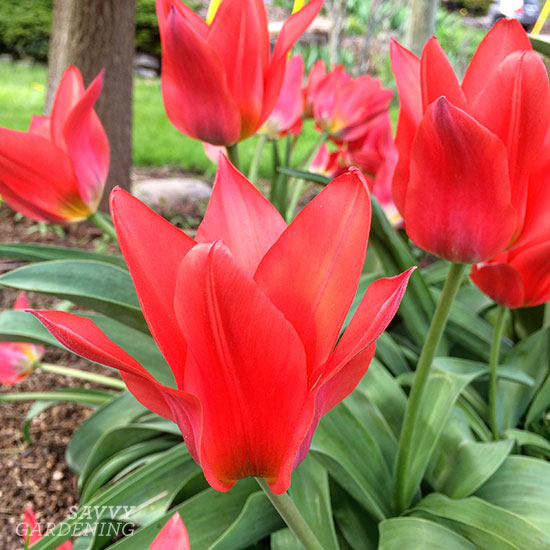 Empreror tulips are among several varieties of perennial tulips.