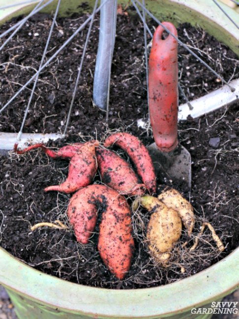 Sweet potatoes can be grown in containers