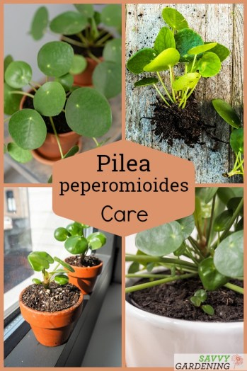 Pilea peperomioides care tips and advice