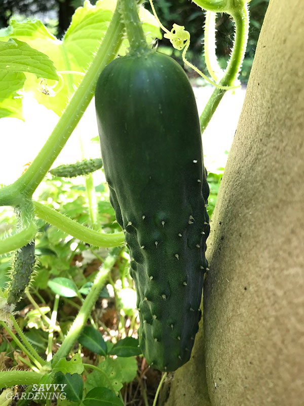 Cucumbers are one of many crops that grow well in fabric raised beds.