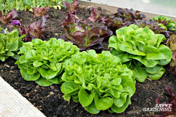 Winter lettuce is an ideal crop for a greenhouse