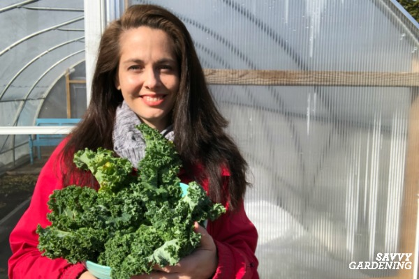 harvesting winter kale