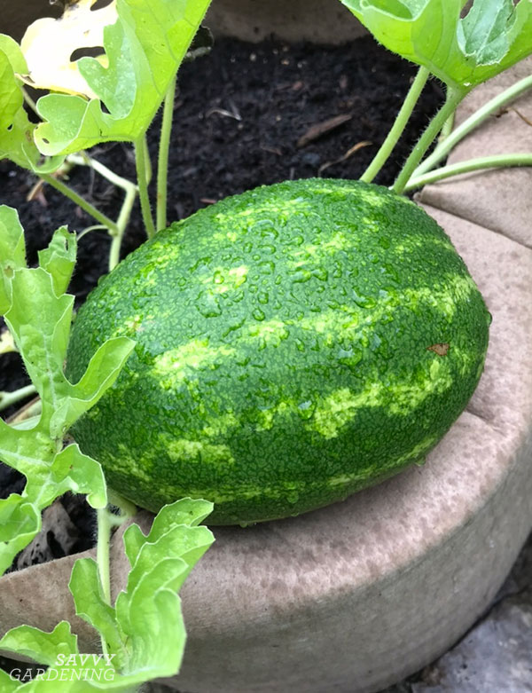 Miniature watermelons grow well in a 20-gallon fabric raised bed.