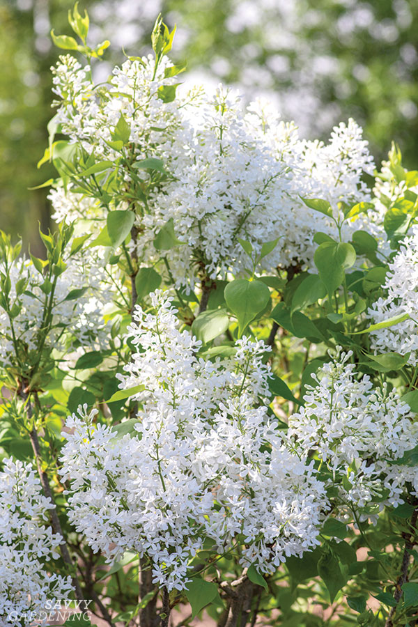 New Age White lilac