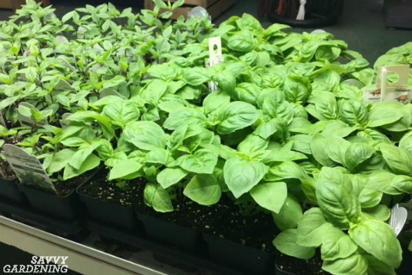 grow basil from seed