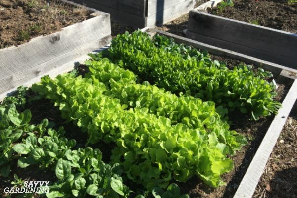 leaf lettuce in a garden