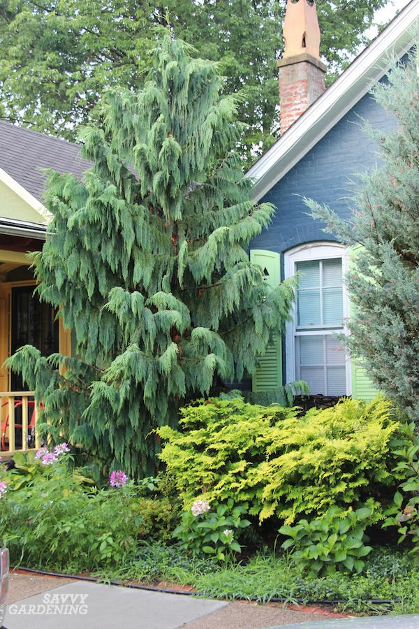 Chamaecyparis nootkatensis is the weeping Alaskan cedar and it is among the loveliest evergreen trees for gardens.
