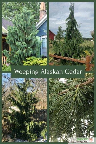 Weeping Alaskan cedars are elegant, easy-to-grow trees for northern landscapes.
