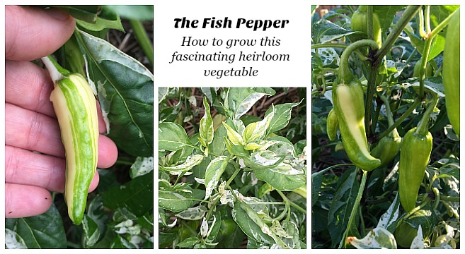 learn how to grow the fish pepper