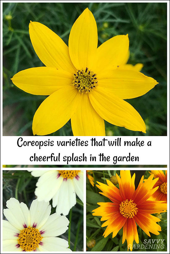 Tickseed varieties that will make a cheerful splash in the garden