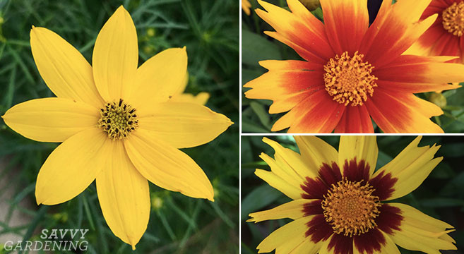 Coreopsis 'Zagreb' and other tickseed varieties for the garden