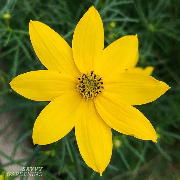 Coreopsis 'Zagreb' is the first tickseed I ever planted. It spread from two small plants into a lovely drift that produces yellow blooms all through the summer.
