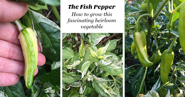 The Fish Pepper: How to grow this fascinating heirloom vegetable
