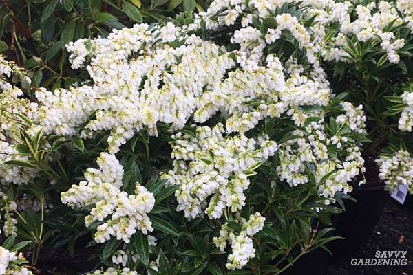 The Best Early Spring Flowering Shrubs For The Garden
