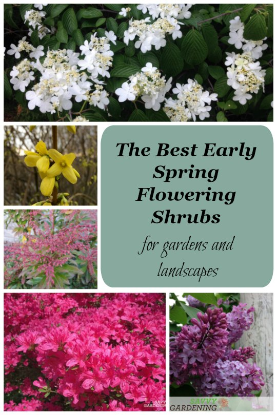 early spring flowering shrubs