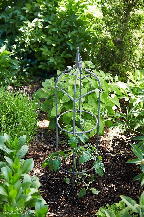 A tomato plant in a perennial garden
