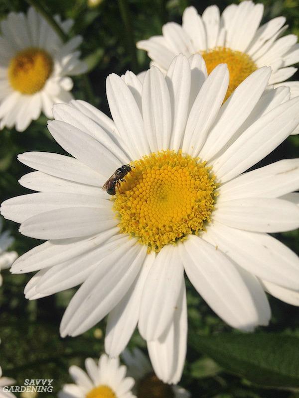 Pollinator on Shasta daisy.