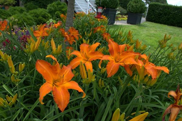 Primal Scream daylily is a beautiful orange flowering cultivar