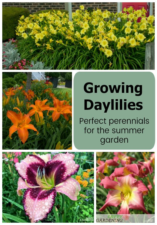 Plant daylilies for long-blooming summer flowers