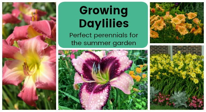 how to grow daylilies in your garden