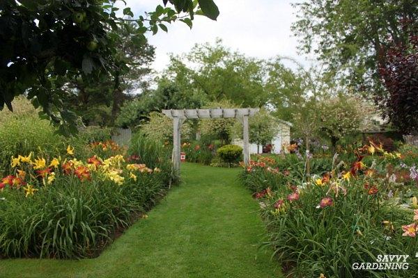 daylilies in a garden