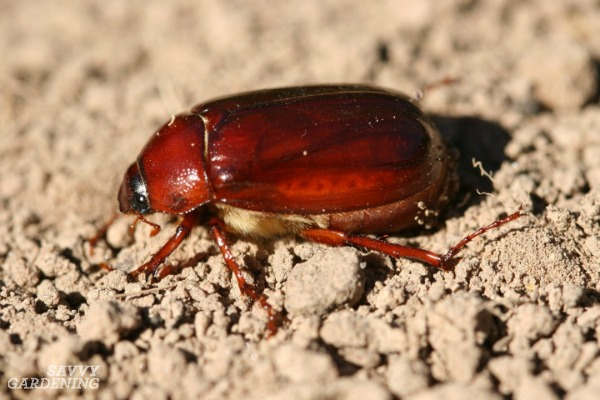 May-June beetles produce larvae that eat the roots of lawn grasses.
