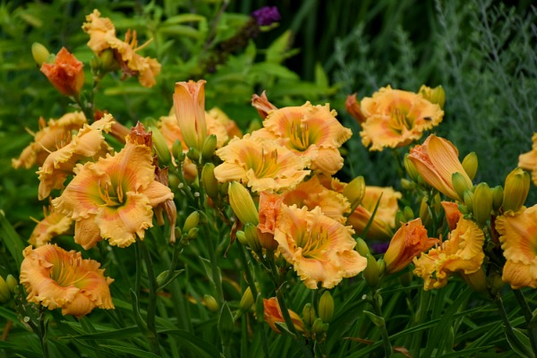 Orange Smoothie has mango-orange petals