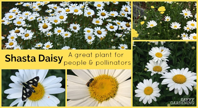 Shasta daisies are great plants for people and for pollinators.