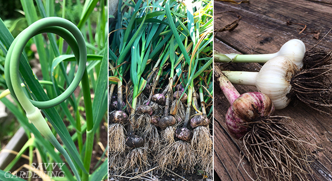 When To Harvest Garlic (And Garic Scapes) And Store It For The Winter