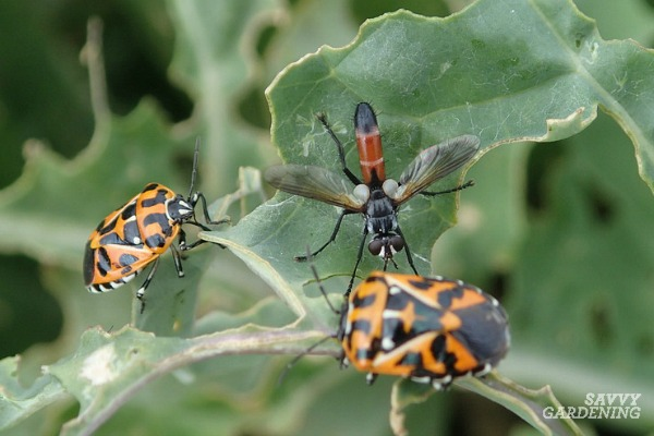 Harlequin bugs are controlled by some species of parasitic flies.