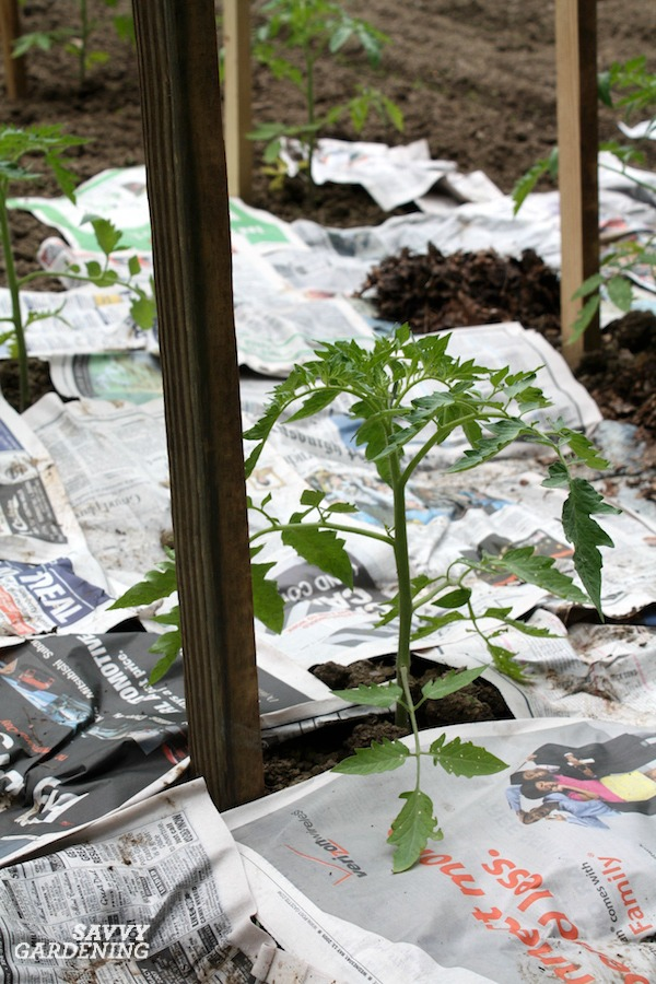 Mulching with newspaper for a weed free garden