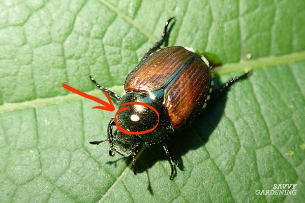 Japanese beetles are one of many garden pests managed by tachinid fly parasites.