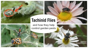 The Tachinid Fly:Get to know this beneficial insect