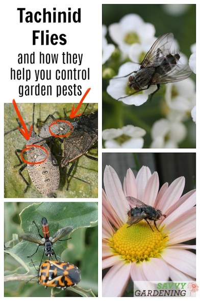 The Tachinid Fly: A beneficial insect in the garden.