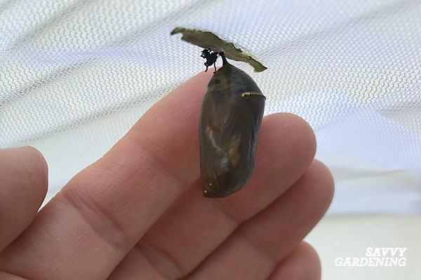Monarch chrysalis that's been parasitized by a fly