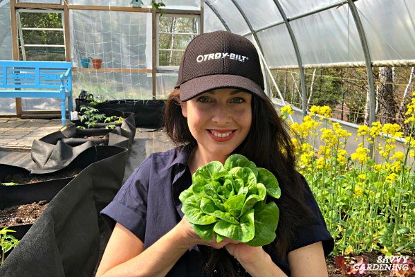 When and how to harvest lettuce