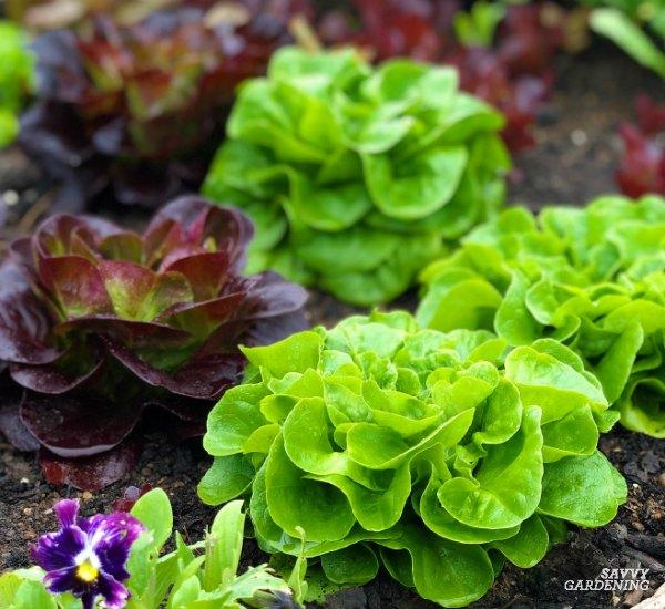 Spring salad greens